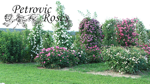 welcome to Rose nursery - Petrovic