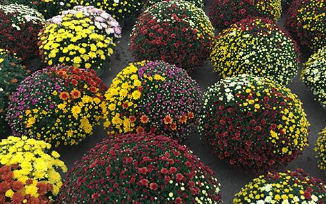 Production of seasonal flowers – Dimitrios Fotopoulos Nursery, Greece.
