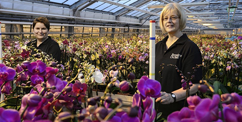 Specialist in Phalaenopsis cultivation - Bremkens Orchids