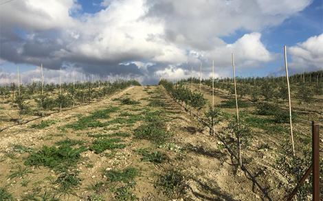 Olive trees production - Anastasopoulos Nurseries
